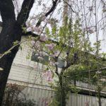 少し前の話ですが、今年はシダレザクラがあまり咲かないお宅がありました。〜やはり地域密着型の植木屋が良い。